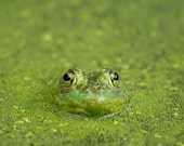 Green Frog Photo - 8x10 Color Nature Photography Print - Animal Woodland Forest Pond Lake Earth Frog Eyes