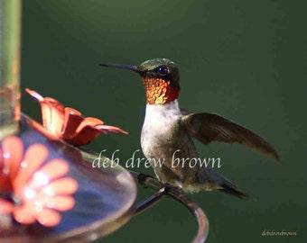 Hummingbird male strutting in the early sun