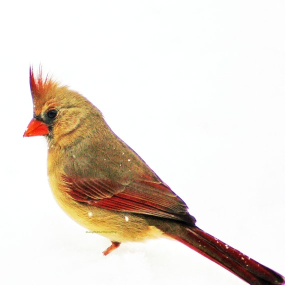 What - Cardinal in snow Winter decor nursery decal angry bird Bird watching Female cardinal Feathers Christmas gift idea