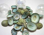 Beach Decor Seashells -  Nautical Decor Shells- Beach Wedding Sea Shells - Limpet Shells - Aqua Limpet Seashells - Beach House Decor - 36pc
