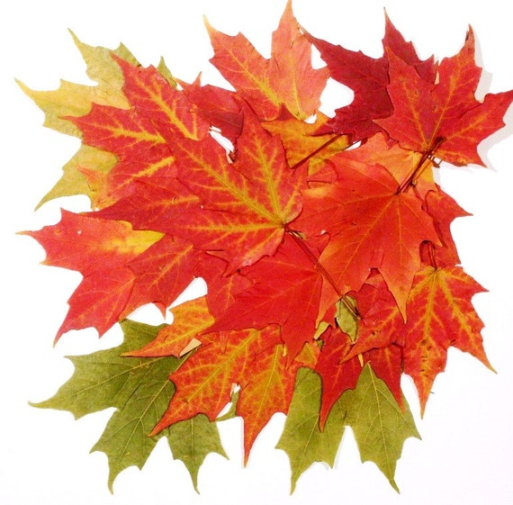 200 Real Pressed Maple Leaves Red\Green\Orange, Autumn Weddings, Thanksgiving Decor, Holiday Art & Craft Projects, Flower Girl Toss