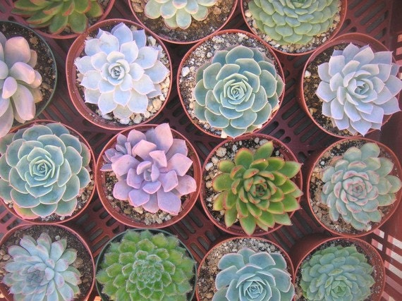 RESERVED For Leslie, A Collection Of Succulents, Blue/Green Rosettes, Great For Weddings, Favors, Ship October 1