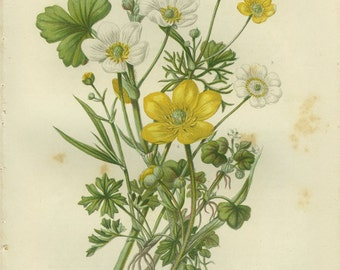Alpine White Crowfoot, Spearwort, Ivy-Leaved Buttercup, Reproduction Antique Botanical, Anne Pratt 1891, Country Cottage Decor, Woodland