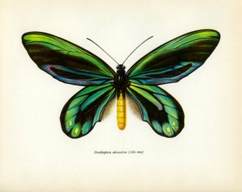 Vintage Butterfly Print, Queen Alexandra's Birdwing, 52, Swallowtail, Prochazka, 1964, Lepidoptera, Frameable
