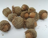 GIANT Acorns Whole Nut for Crafting Lot of  12