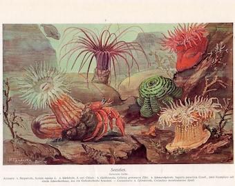 1869 sea anemones original rare antique ocean sea life print and a hermit crab