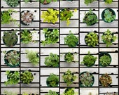 "Succulent Sedum Plants 32 Pack in 3"" Pot, Great Gift Favors, Terrariums, Tablescapes, old boots, dish gardens"