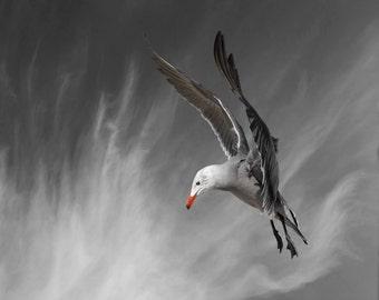 Animal Photography, Bird, Seagull, Heermann's Gull, Limited Edition Photography Bird Art Print, Fine Art Photography, Superman