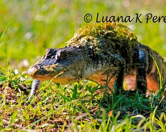 Alligator in Louisiana Swamps