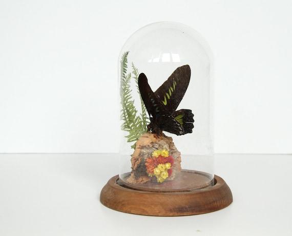 Butterfly Specimen in Dome