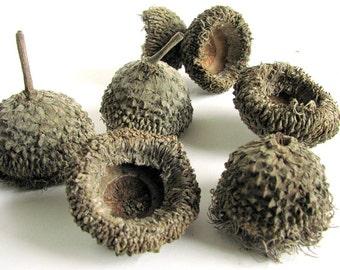 12 Large Fringed Bur Oak Acorn Caps, Size Small