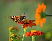 Orange and Black Monarch Butterfly on Orange Flower - 5x7 Nature Photograph - New England Flower Photograph