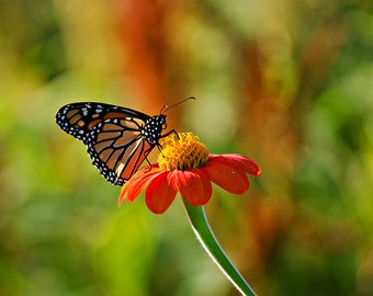 Orange and Black Monarch Butterfly on Red Flower - 8x12 Nature Photograph - New England Flower Photograph