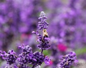 "Purple Flowers and a Yellow Honey Bee (8"" x 10"" photograph)"