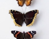 Real Butterfly Specimen, Unmounted, Ready Spread, North American Butterflies Set of 3