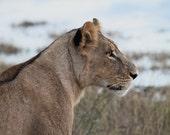 Photography Print - Lion, Lioness, Big Cat, Wild Cat, Africa, African Safari, Nature - 8x10