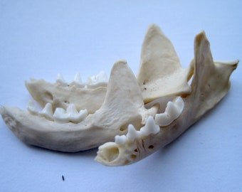 Mink Jawbone - Excellent Terrarium Accent, DIY Terrarium Supplies, Jewelry Making and Crafting Supply