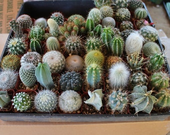 "10 Very Cool Cactus in 2"" plastic containers Great for Party or Wedding Favors and Gifts cacti succulents table decor favor"