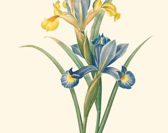 Vintage Purple Iris Flower Print 8x10 P243
