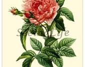 Rose Antique Botanical print reproduction