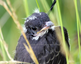 Bird Greeting Card - Kingbird Chick Newly Fledged Just Out of the Nest