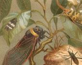 1890 Exotic Cicadas Original Antique Chromolithograph to Frame