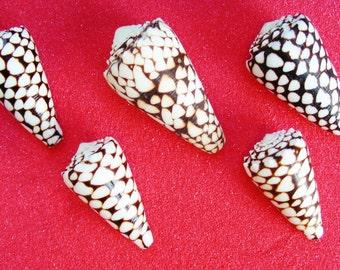 Conus Marmoreus Shell (1 pc)