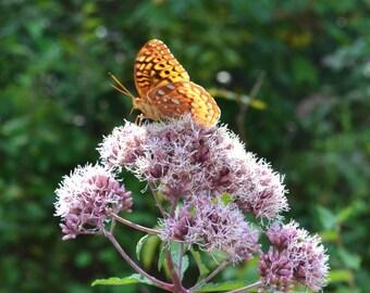 Orange & Lavender - Orange Butterfly - Photograph 5x7, matted, orange butterfly on purple flower