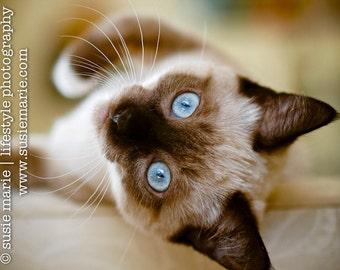 Simone - Siamese Cat Photograph - Pet Photography, 8x10 print