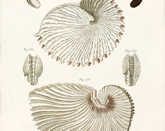 Antique Nautilus Shell Art Print - Nautilus Shells 1 - Wall Decor - Natural History