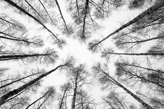 birch trees above you - photo finland birch tree forest - black and white trees photo - forest photo black and white - nature photo finland