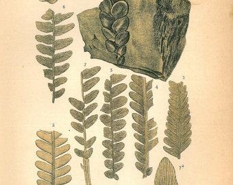 1893 Botanical Print  Jurassic Fossil Plant Prehistoric Cycad Vintage Lithograph
