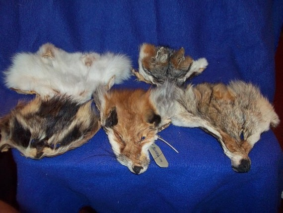 5 real animal fur Tanned face head skin pelt parts