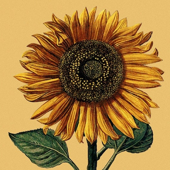 Sunflower Vintage Reproduction Print 8 X 10 By