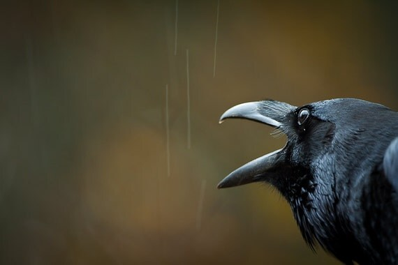 RESERVED FOR SUSIE - Le Grand Corbeau et La Pluie