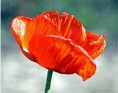 SALE Remembrance Day, Single Poppy, Image Download, Flower Nature, 8 x 8 inch - PaperMeadows