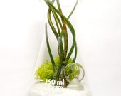 Erlenmeyer Flask Air Plant Terrarium: Laboratory Flask with Tillandsia