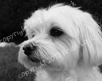 FREE SHIPPING - Maltese Dog Black and White Photograph - Good Boy