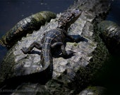 Mother Alligator and Baby 8 X 10 Print