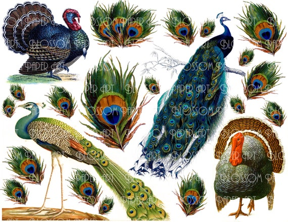 Peacock Images Peacock Feathers Collage Sheet By