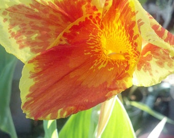 Canna Lily lilly  (2) pack bulbs with some leaves