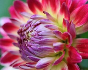 Red-Yellow Dahlia 4-- Fine Art Floral Photography Print -- Photo, Home Decor, Flowers, Art