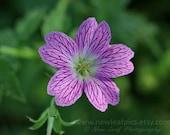 Wildflower photograph, botanical print, pink and green feminine art