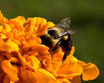 Bumblebee and Marigold Macro/Close Up Photographic Print 8x10