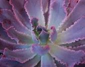 Succulent Plant -  Echeveria Neon Breakers