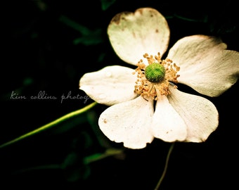 White Windflower,Durham, North Carolina-Nature Photography-Flower,Floral,White-multiple Sizes Available-Fine Art Photography-Gift