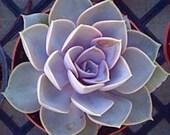 Large Succulent Plant, Echeveria Perle Von Nurnberg