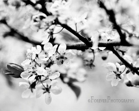 Black and White Cherry Blossoms - Gift Fine Art Photography, Spring, Home Decor, Nursery, Little Girl's Room print, Flower 8x10