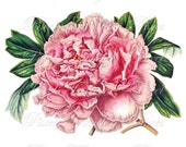 PEONY Instant Download Digital Downloads collage sheet pink flowers wedding clipart 171