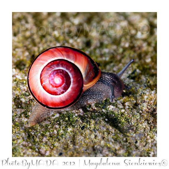Snail Animal Photography, Nature, Macro, Home Decor, 5 x 5 print Fine Art Photography Print